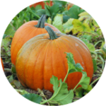 Pick your own pumpkins at Pell Farm