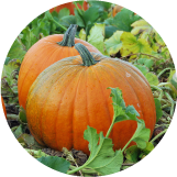 Pick your own pumpkins at Pell Family Farm