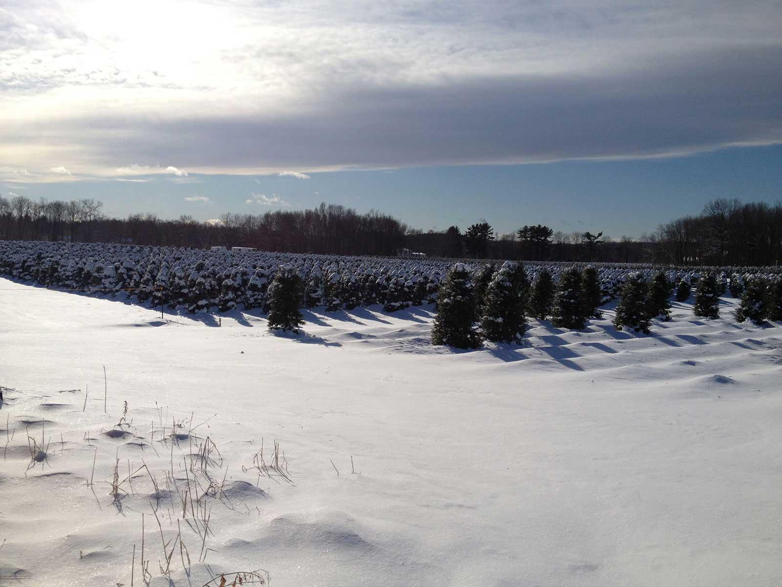 Snowed Over Christmas Trees