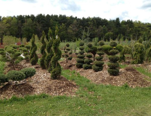 Topiaries & Ornamental Evergreens
