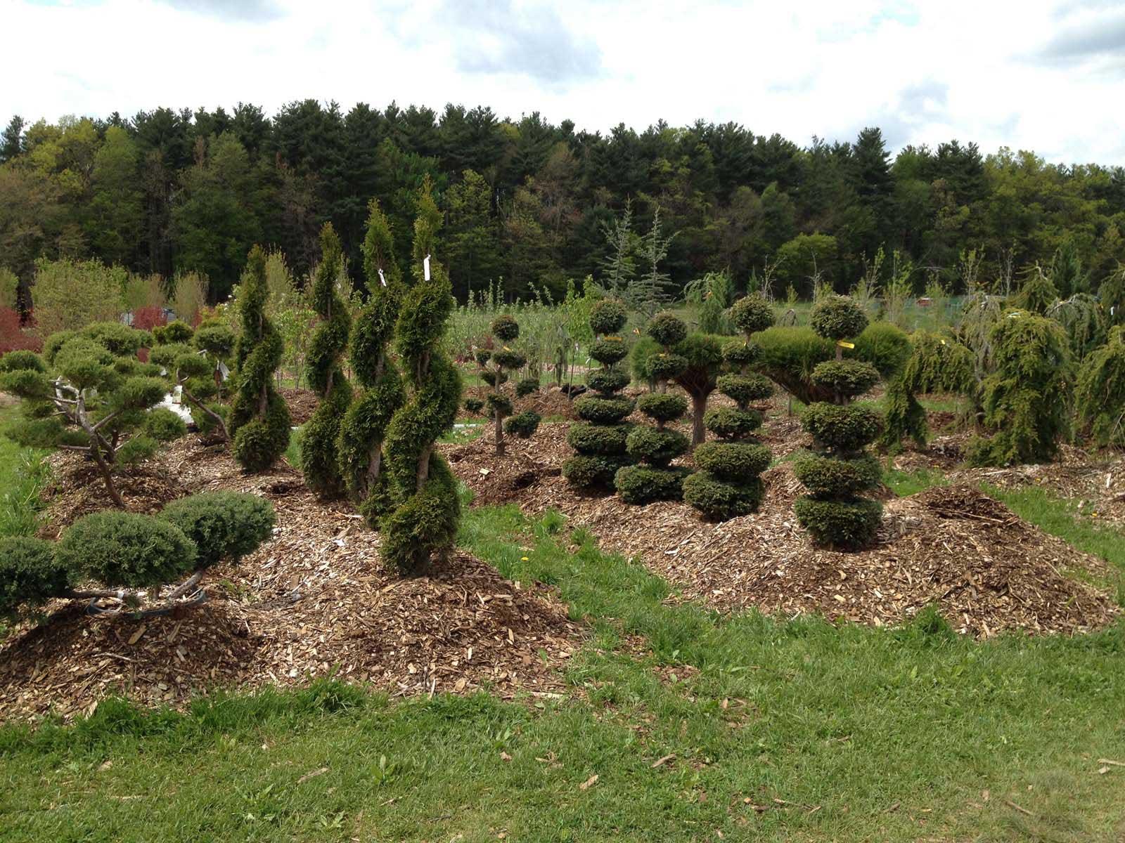 Topiaries & Ornamental Evergreens