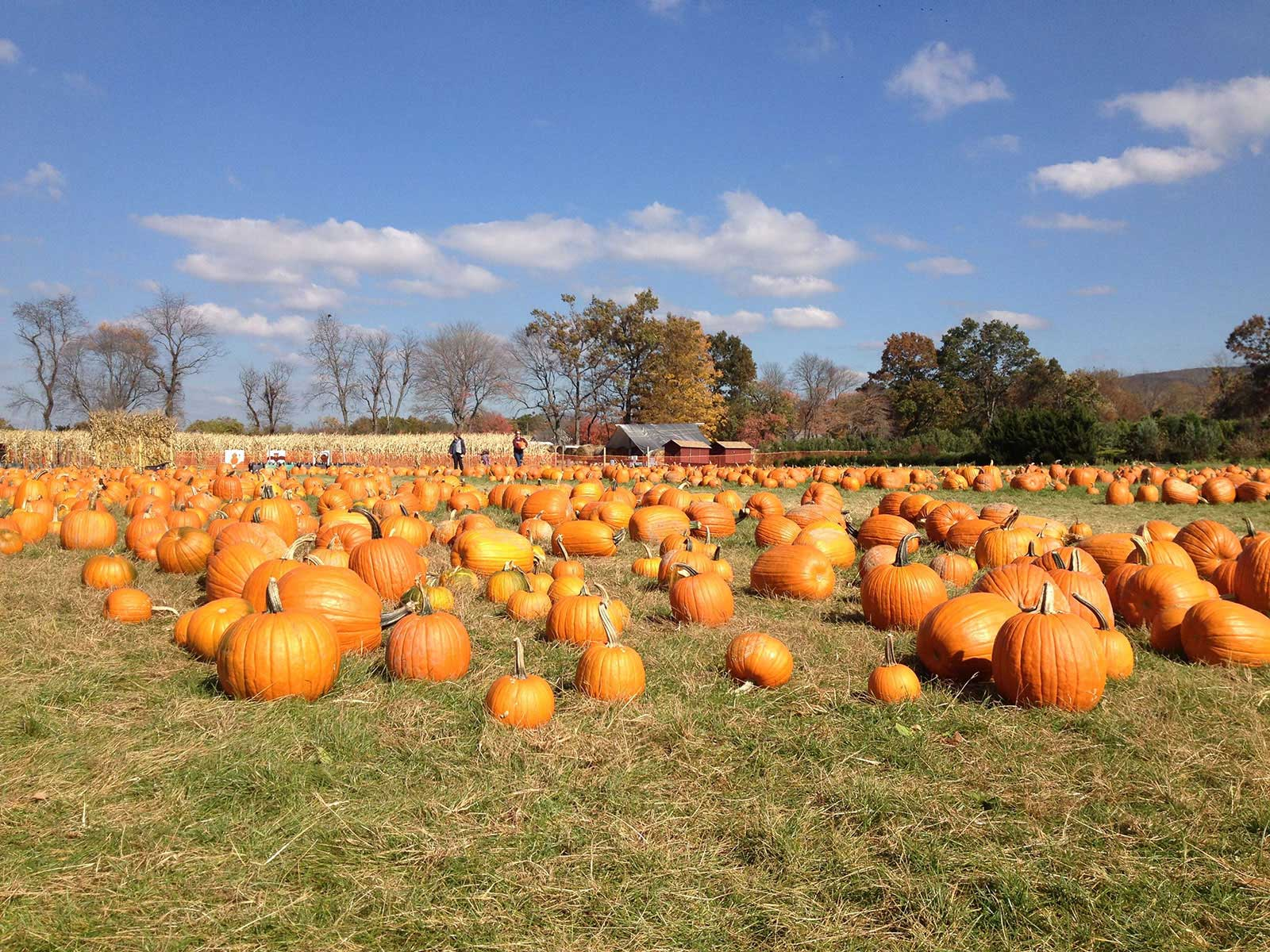 Pell Farm | Pumpkins