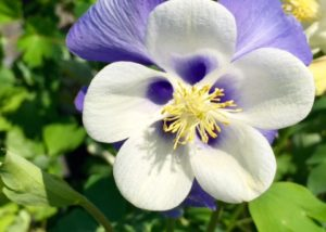 Columbine - plants for part shade to shade conditions available
