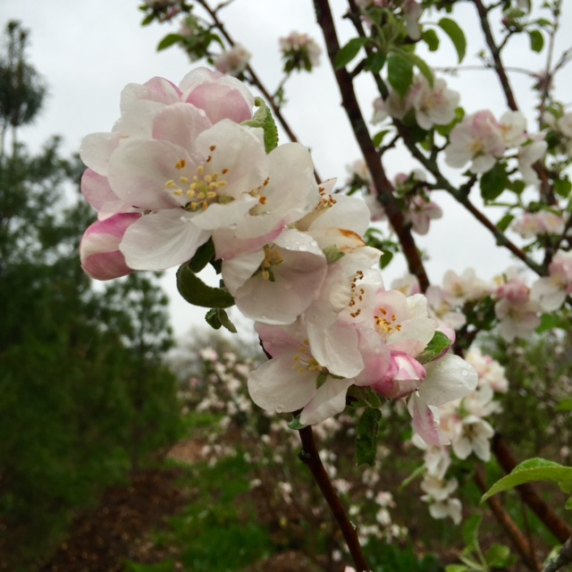Crabapple - wide selection of flowering trees