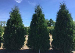 Dark American Arborvitae