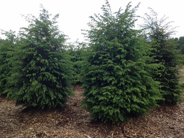 Hemlock - great for privacy hedges
