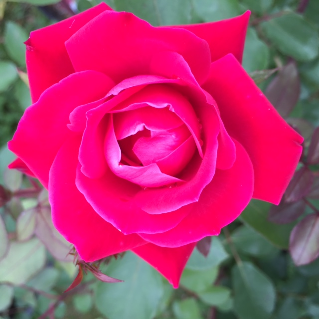 Knockout rose - blooms all summer