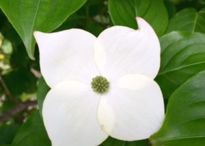 Kousa Dogwood - blooms summer