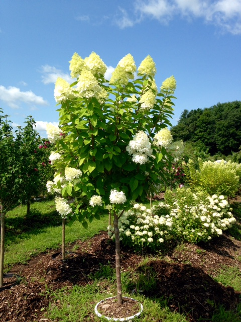 Limelight hydrangea tree long bloom