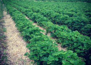 Pell Farms growing field