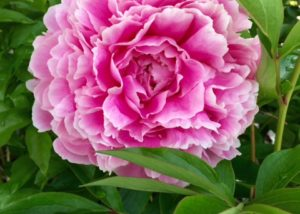 Peony - pink, red and yellow available